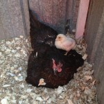 Broody Hen with Chicks